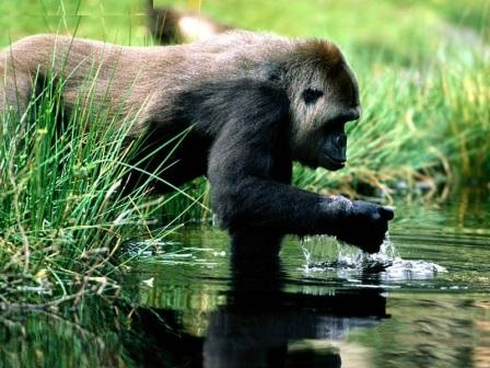 gorila en el rio