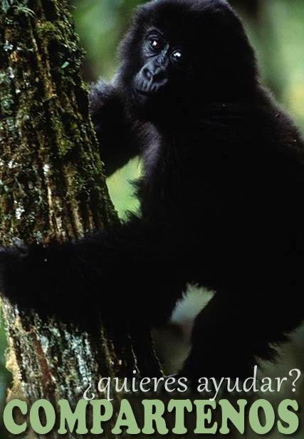 Qué comen los gorilas? » GORILAPEDIA