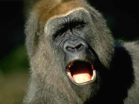 gorila rugiendo