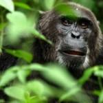 gorila entre las ramas