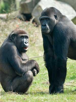 dos gorilas