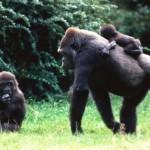 familia gorila