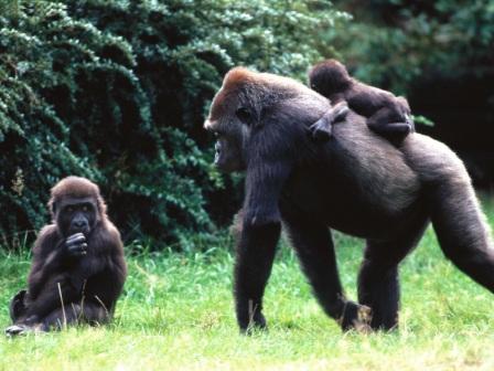 950b16a5f054 Cría y reproducción de los gorilas » GORILAPEDIA