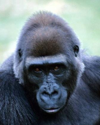cabeza de un gorila