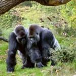 dos gorilas machos