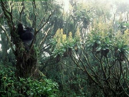 gorilas en arboles