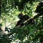 gorila trepado