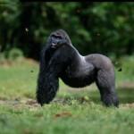gorila macho de lado