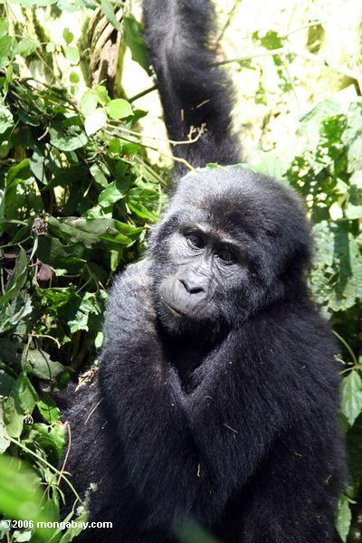 gorila oriental 1
